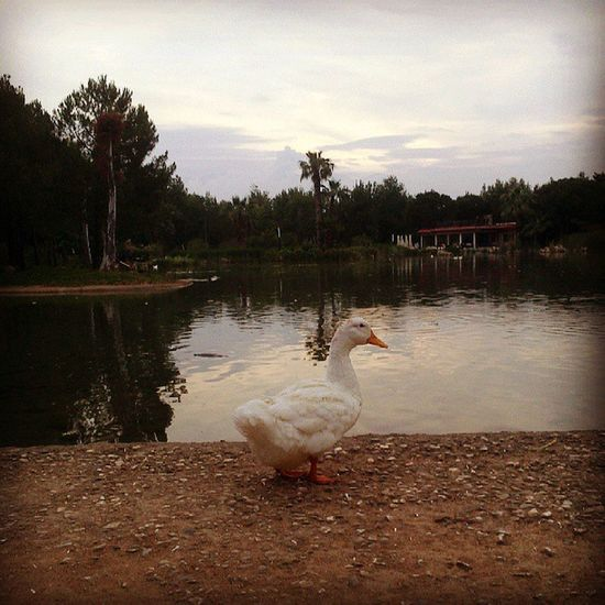 Duck Ordek Lake