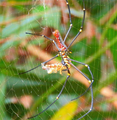 Om nom nom Arachnid Photography EyeEm Nature Lover Goldenorbweaver Spider Arachnid Lunchtime Playingwithyourfood Doyoufearspiders Nature On Your Doorstep