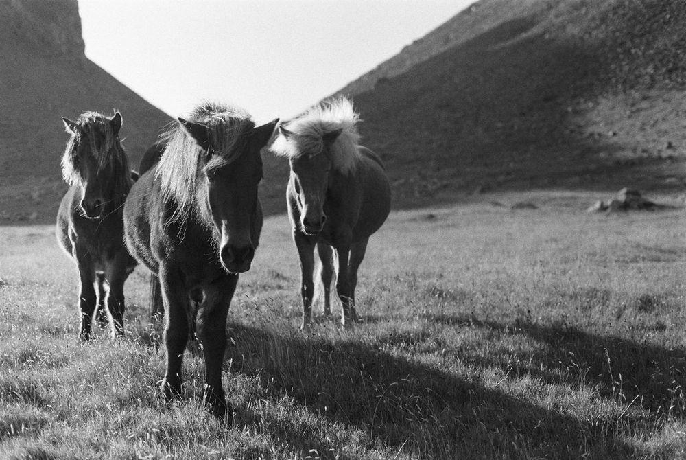 Boy Band of Horses, Iceland / Canon FTb, Kodak Tri-X 400 Film
