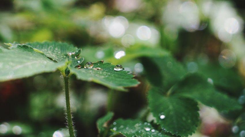 今日は暑かったんですが、ある場所で可愛い 雫 を発見! Nature Leaf 葉っぱ 玉ボケ Japan 日本 EyeEm Best Shots 葉っぱふぇち