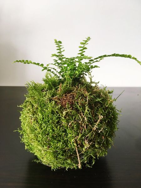 Kokedama Plant Green Peace Peaceful New Fern Litlle Cute Quiet Herb Growth Nature Indoors  Freshness Silent Rest DIY