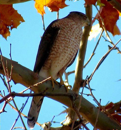 Cooper' hawk Hawks Bird Photography Birdwatching Birds Nature Photography Birds Of Prey