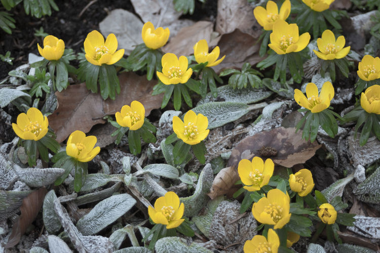 Close-up of beautiful yellow Winter Flowers. Blooming Winter Aconite.Beauty In Nature Blossoms  Close-up Cold Cold Season Winter Aconite Flower Collection Flower Head Growth March Weather Winter Flowers Wintertime Yellow Yellow Flowers Winterlinge Blooming Frozen Change Directly From Above Eranthis Frost Frozen Nature