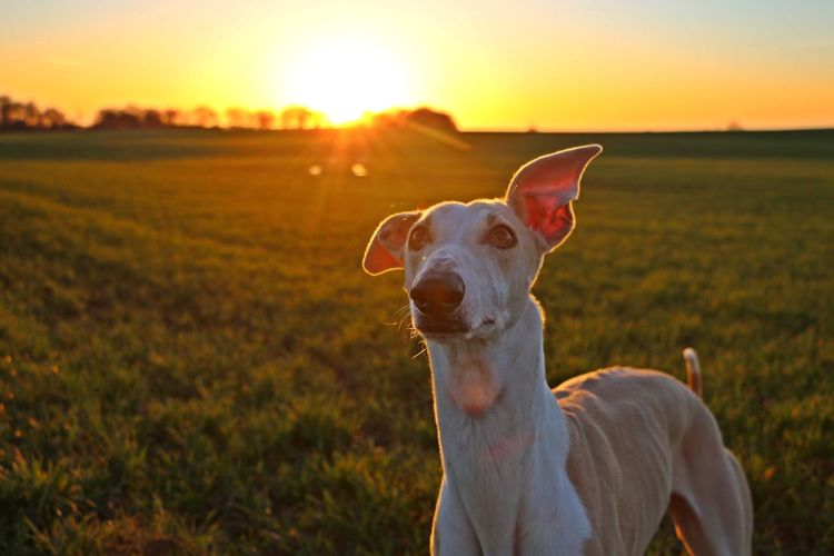 Portrait of dog on field against sky during sunset