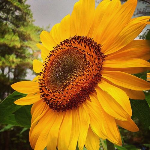 Its a sunny sun shiney day Sunflower Flower Nature Beautiful