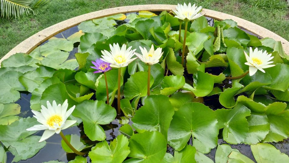 Flower Leaf Growth Nature Freshness Green Color Plant Beauty In Nature Outdoors Flower Head Blooming No People Close-up Lotus Blossom Floating On Water In Garden Tree White Lotus Springtime Day Petal Fragility White Color Topical