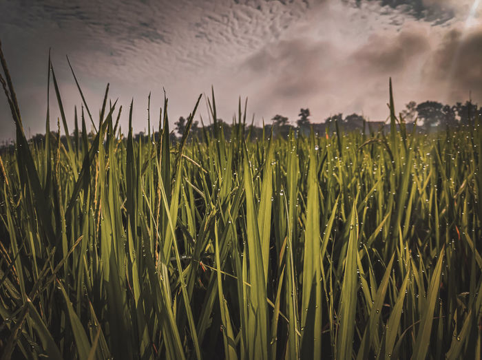 Rice is the favorite food source in indonesia