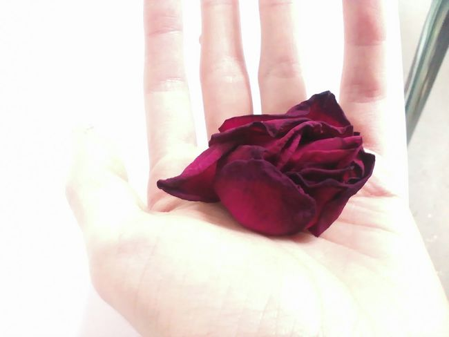 Beautiful Elegance Everywhere Elegant Elégance Hand Holding Rose Collection Rose♥ Simple Things In Life Beauty Contrast Flower Flower Collection Flower Head Fragility Hand Hand Holding Flower Holding Human Hand Petal Red Rose Rose - Flower Rose🌹 Simple Simple Beauty Simplicity