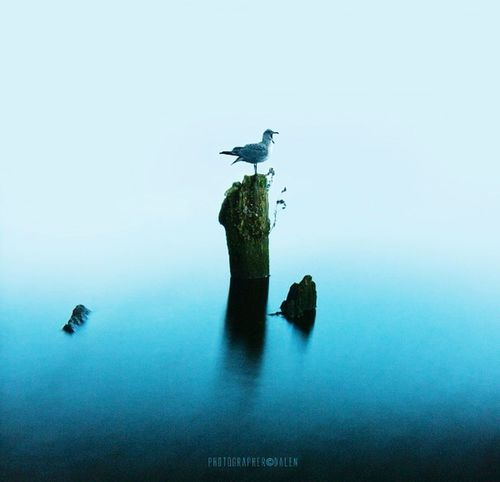 -blue gull- Gull Picture Sea Romadalen Seascape Birds Beautiful Nature