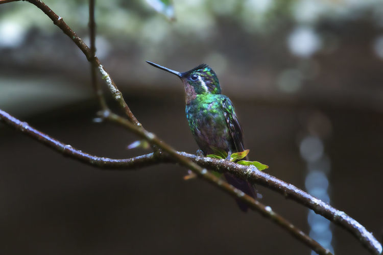 Purple-throated Mountain-gem Monteverde Cloud Forest Reserve Animal Wildlife Bird Vertebrate Animal Themes Animal Animals In The Wild One Animal Perching Hummingbird No People Day Branch Nature Focus On Foreground Twig Selective Focus Outdoors Plant Close-up Beak