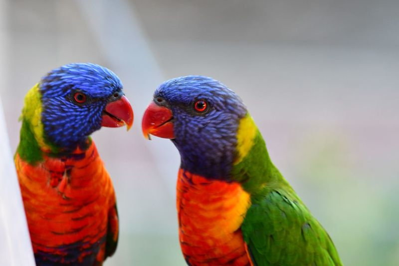 Parrot Animal Themes Bird Animal Vertebrate Animal Wildlife Group Of Animals No People Focus On Foreground Togetherness Outdoors Nature Day Love Beauty In Nature Close-up Multi Colored Animals In The Wild Rainbow Lorikeet Two Animals