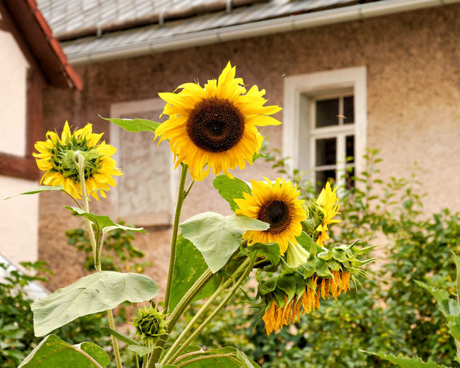 Sunflowers in