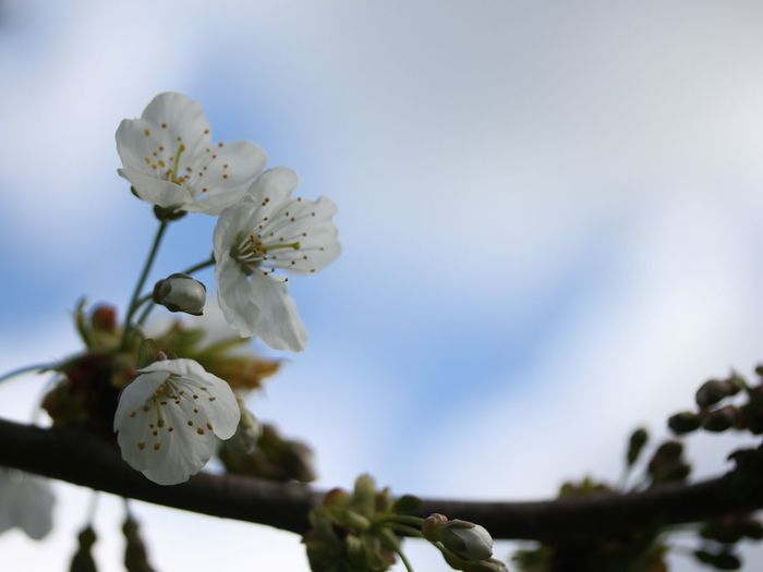 Blossoms  The