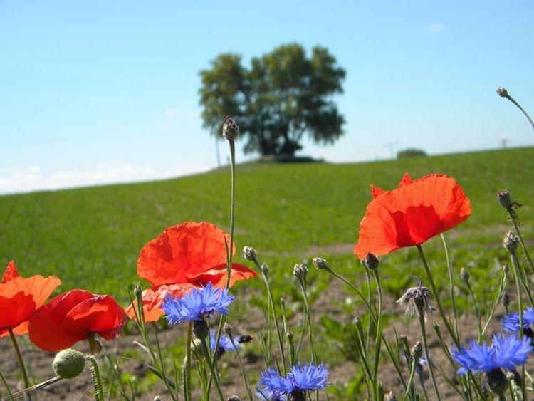 Poppies  Poppy Flowers Cornflowers Beautiful Nature Summer Summertime Summer Views Flowers Flowerporn Rerik Germany🇩🇪 EyeEm Best Shots - Nature Windows Wallpaper Macro Beauty