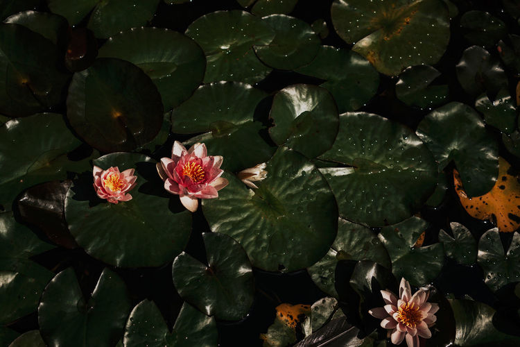 Tranquility Beauty In Nature Floating On Water Flower Flower Head Flowering Plant Fragility Growth Moody Nature Petal Plant Plant Part Vulnerability  Water Lily