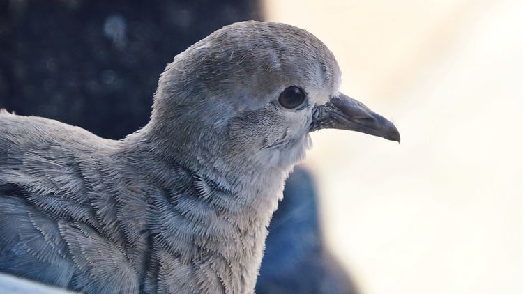 Close-up Bird No People Mourning Dove