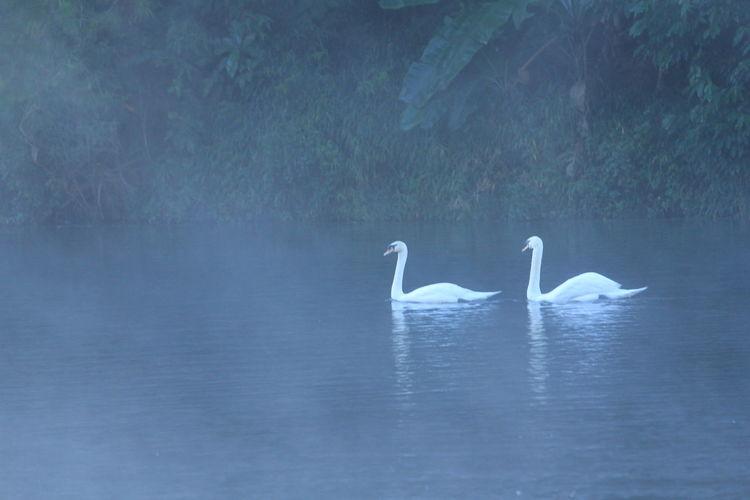 Swan Animals In