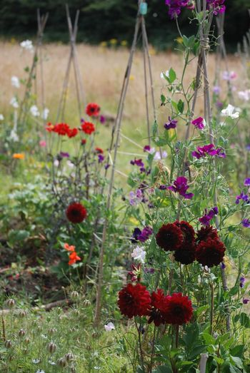 Flower Growth Plant Nature Beauty In Nature No People Outdoors Blooming Day Fragility Close-up Freshness Poppy Flower Head Allotment Dahlias