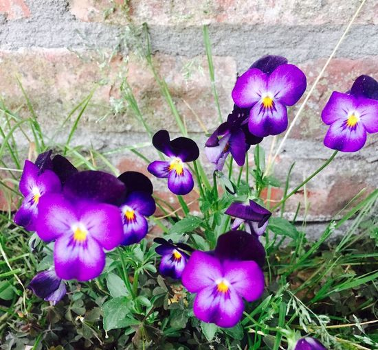 Flower Petal Purple Fragility Beauty In Nature Growth Nature Flower Head No People Outdoors Plant Day Pansy Blooming Close-up Crocus Petunia Periwinkle