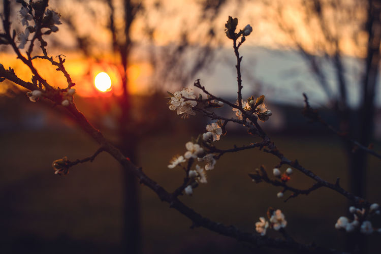 Plant Beauty In Nature Tree Sunset Branch Focus On Foreground Nature Flower Flowering Plant Tranquility No People Sky Growth Fragility Sunlight Sun Vulnerability  Outdoors Close-up Freshness Springtime Lens Flare Cherry Blossom
