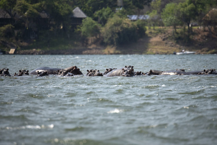 Hippos swimming in water