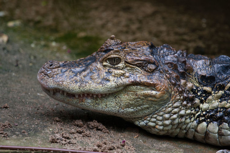 Burgers Zoo - Broad-Snouted Caiman (Aligator) Alligator Burgers Zoo Reptile Alligators Animal Themes Animal Wildlife Animals In The Wild Caiman Caimanes Close Up Close-up Day Nature No People One Animal Outdoor Outdoors Outdors Reptile Reptiles Selective Focus