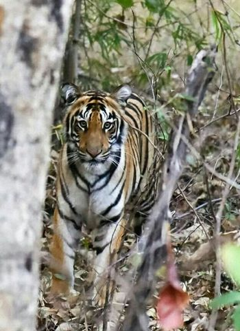 eye contact with tiger Animal Wildlife Tiger Nature Animal Themes No People Portrait Animals In The Wild One Animal Outdoors Close-up Endangered Species