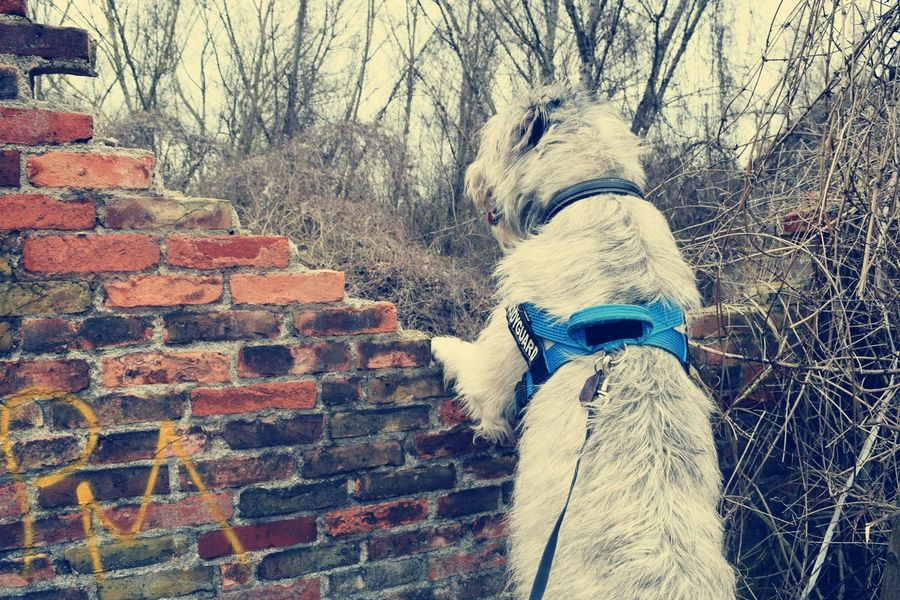 Outdoors Brickwall Animals In The Wild How's The Weather Today? March 2017 Dogslife Irish Wolfhound Spring 2017 Dogs Of EyeEm Cearnaigh Dog Of The Day Dogwalk Dogs Of Spring Domestic Animals Portrait