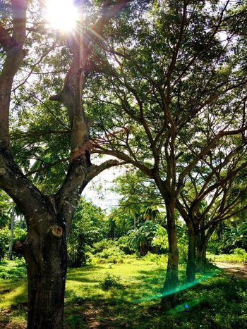 kakahoyan Lens Flare Dirt Road PhonePhotography Eyeemphotography Eyeem Philippines Eyeem Market Tree Tree Trunk Growth Nature Outdoors Day Branch Sunlight Tranquility Beauty In Nature Green Color No People Scenics