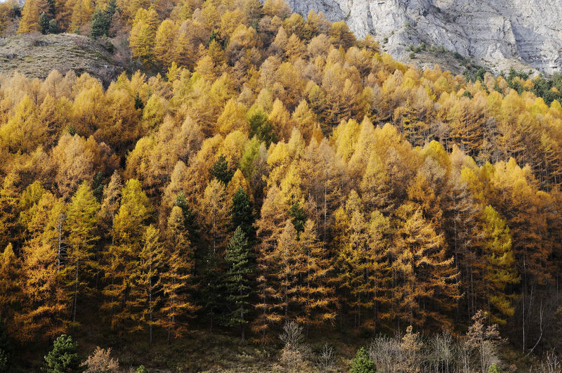 Conifer in autumn on the Piedmontese Alps (Italy) Trees Tree Yellow Color Autumn colors Autumn autumn mood Alps Piemonte Italy Forest Plant Beauty In Nature Scenics - Nature Coniferous Tree Pine Woodland Growth Tranquility Pine Tree Non-urban Scene Change Outdoors Mountain Tranquil Scene Nature EyeEm Nature Lover