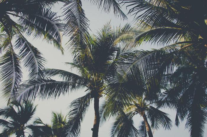 Nature Palm Tree Tree Vintge