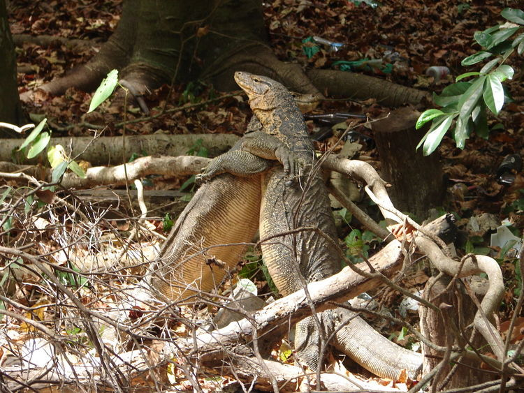 Animals Animal_collection Animal Photography Komodo Dragon Komodo Komododragon Reptiles