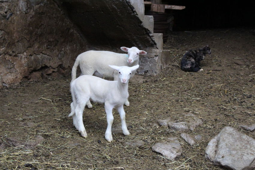 Domestic Animals Animal Themes Mammal Pets Livestock No People Dog Outdoors Young Animal Day Sheep Nature Brebis Looking At Camera Moutons Agriculture Agneaux