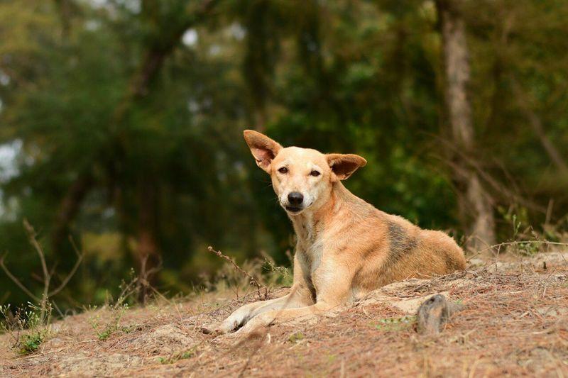 Eared Reddog Relaxation Dog Goa Paradise Beach Grove
