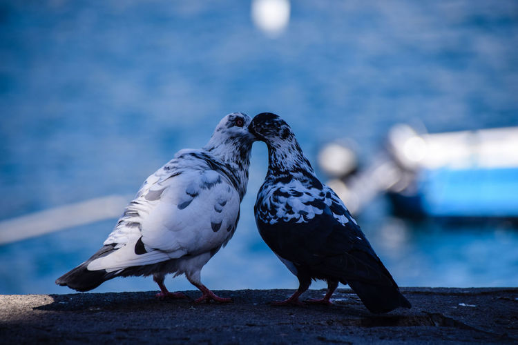 Courting pigeons Animal Animal Behavior Animal Themes Animals In The Wild Avian Beak Bird Blue Close-up Focus On Foreground Full Length Nature Perching Pigeon Selective Focus Two Animals Vertebrate Wildlife Zoology