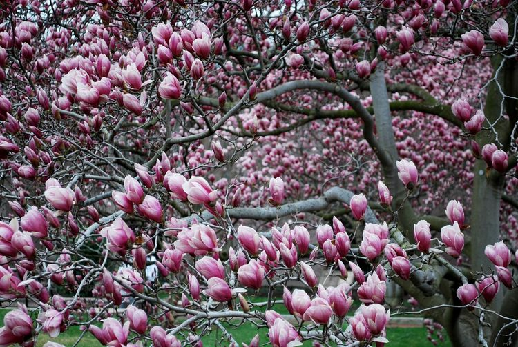 Magnolia In Bloom Magnolia Magnolia Blossoms Magnolia Flower Magnolia Tree Pink Romance Backgrounds Beauty In Nature Blooming Blossom Branch Close-up Day Flower Flower Head Fragility Full Frame Growth Nature No People Outdoors Pink Color Pink Flower Springtime Tree