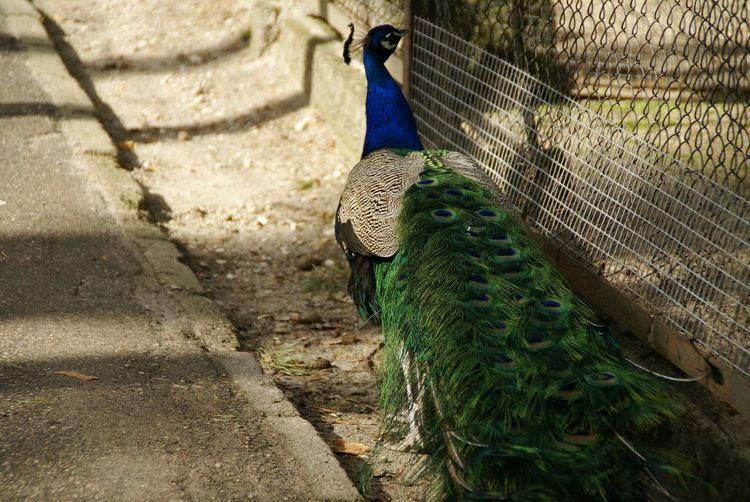High angle view of peacock in cage at zoo