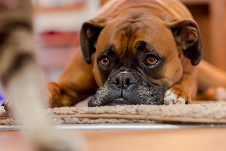 Boxer relaxing at home