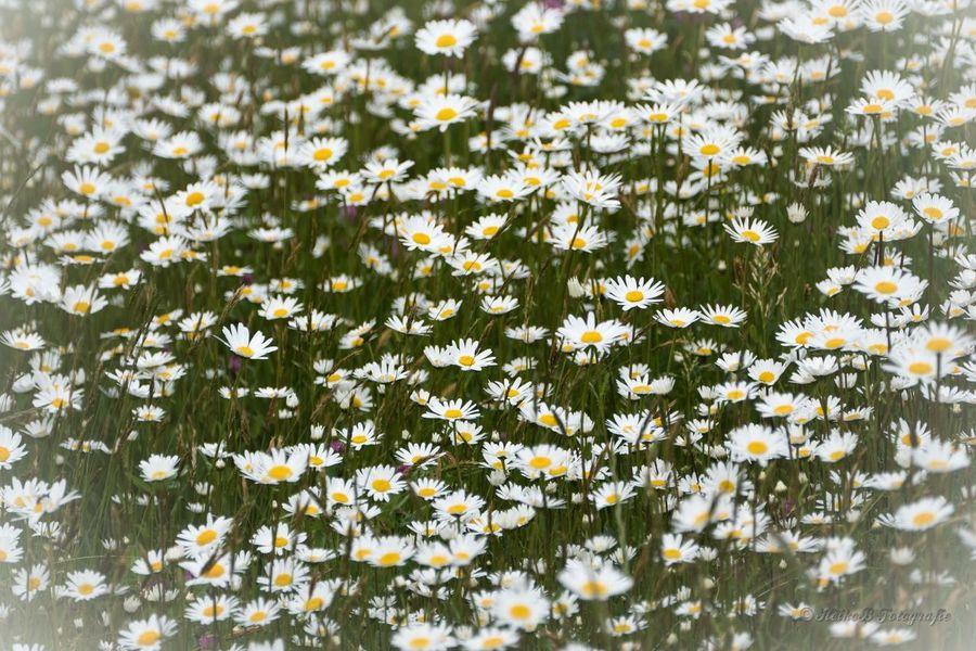Mageriten Heikobo Blumen Blüte 2015  Thuringen Mageriten