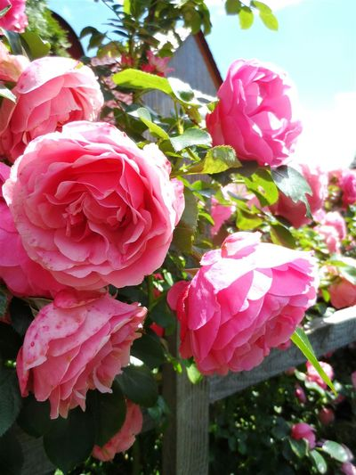 Secret Garden Garden Photography Take A Walk With Me EyeEm Nature Lover Vintage Roses Pink Roses Flowerlovers EyeEm Flower Flowers