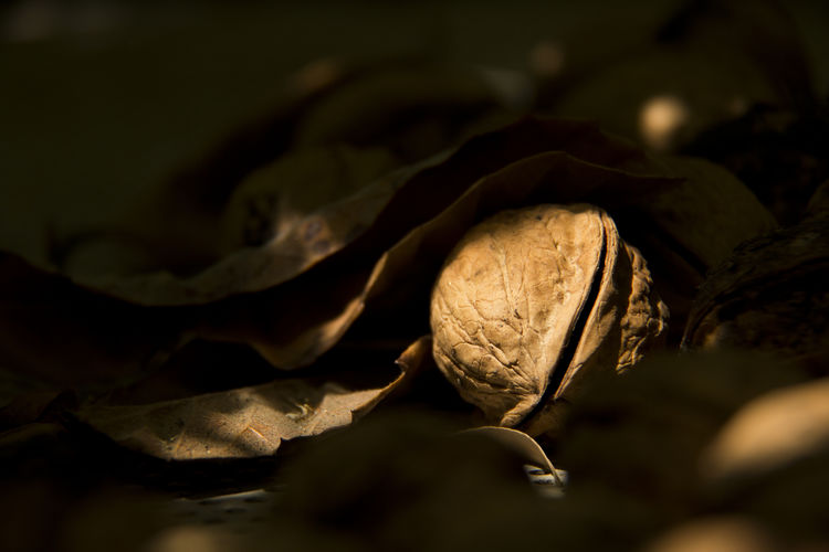 Close-up of fallen walnut amidst dry leaves in forest