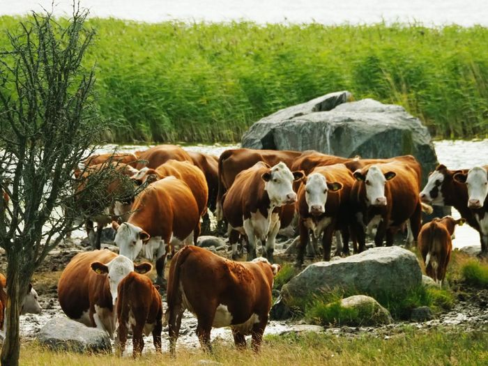Meat Cattle Many Cows   Drinking Places Gathering Place Cows In A Field Tree Highland Cattle Rural Scene Cow Group Of Animals Agriculture Cattle Grass Livestock Landscape