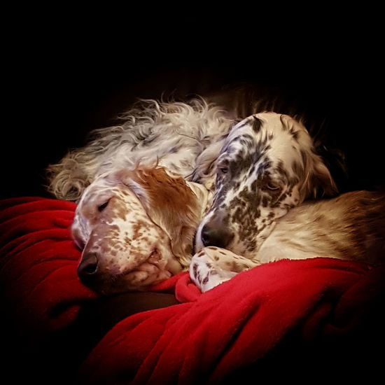 Two Tired Girls Dog Pets Domestic Animals One Animal Animal Themes Sleeping Eyes Closed  No People EyeEm Best Shots EyeEm Selects Tranquility Photography English Setter Pets_collection Love