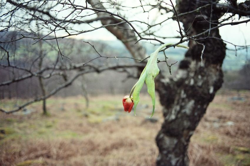 Distagon28mm Flower Tree Countryside Death Tulips🌷 Tulips Tulip Creepy Derbyshire Branch Day Bare Tree Selective Focus Outdoors Red Contax167mt Nature Tree No People Selected For Premium