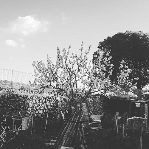 Blossom Black And White Mount Etna Orchard Sicily Spring