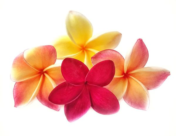 Multicolour plumeria flowers Flower White Background Frangipani Cut Out Petal Studio Shot Beauty Flower Head Beauty In Nature Close-up Nature Freshness Multi Colored Freshness Beauty In Nature Blooming Flower Multicolour Blooming Frangipani EyeEm Nature Lover Frangipani Flower Multicoloured Flower No People Fragility Periwinkle