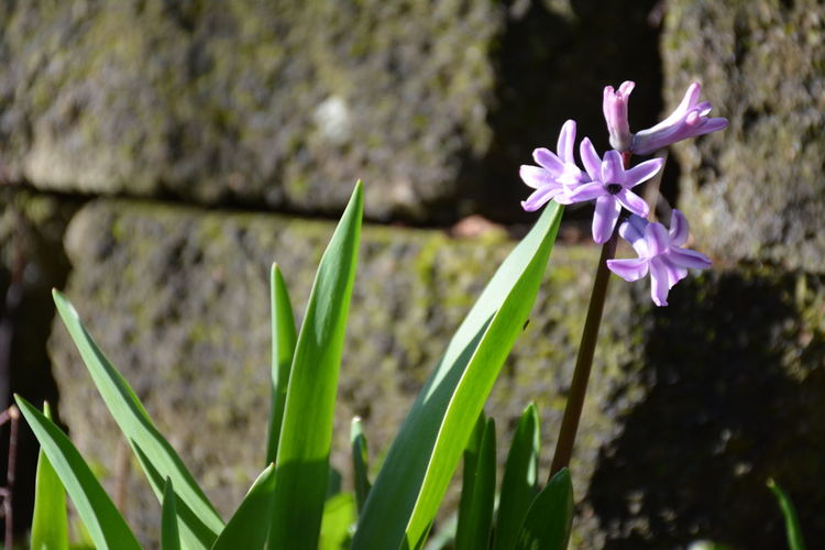 4K 6k Beauty In Nature Blooming Blurred Background Bright Brown Close-up Colorful Flower Flower Head Focus On Foreground Freshness Green Leaves Growth Moss Nature Petal Purple Purple Flower Selective Focus Star Star Flower Sunlight White EyeEmNewHere