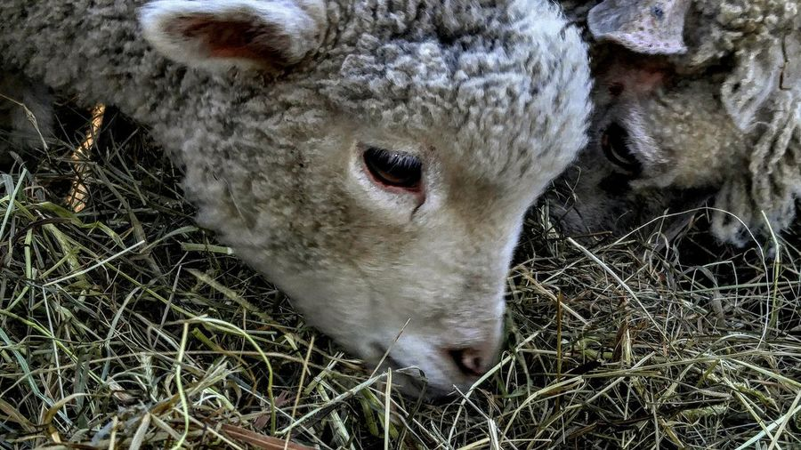 L.Adkinsphotography RAWphotography Eyemphotography EyeEm Nature Lover New England  Baby Animals Babylamb Lamb Lambs And Sheep EyeEm Nature Lover Animal Themes Cute Babyhood Close-up Young Animal Sheep Infant