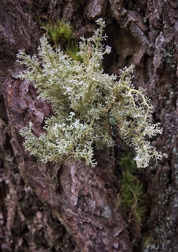 Growth Lichen Nature Close-up Outdoors Tree Beauty In Nature Day Shapes In Nature  Layers And Textures Texture Abstract Nature