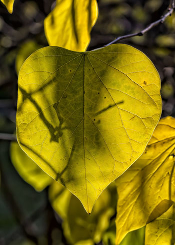 back lit leaf Autumn Leaf Back Lit Leaf Fall Leaf Leaf Nature